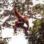 Selama 16 Tahun Terakhir, Setidaknya 100.000 Orangutan Terbunuh di Kalimantan