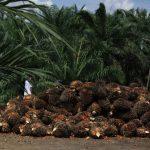 BPDP Bantu Remajakan 500 Hektar Sawit Rakyat di Paser