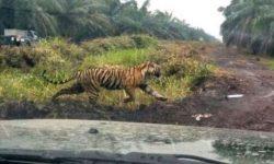 Harimau Bonita yang Menewaskan Dua Orang di Riau Dievakuasi