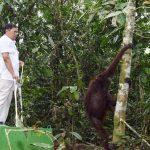 PT PKT, Balai TNK, dan BKSDA Kaltim Kembalikan Orang Utan ke Hutan