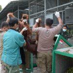 Sangat Terancam Punah, Ini Kondisi Terkini Satwa Primata Orangutan di Kalimantan
