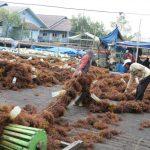 Rumput Laut dari Nunukan Mulai Diekspor ke Korea