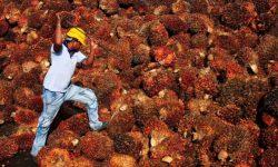 Harga Acuan Minyak Sawit Oktober Naik Jadi US$574,86 Per Ton