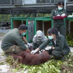 Yayasan BOS Siap Tampung dan Rawat Orangutan yang Gagal Diselundupkan Melalui Bali