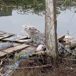 Satu dari Dua Buaya yang Masuk Kota Samarinda Berhasil Ditangkap