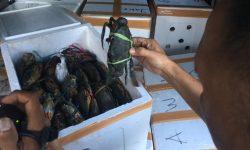 Polair Kukar Gagalkan Penyulundupan 1.200 Ekor Kepiting Bertelur ke Malaysia