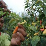 Produksi Cabai Lokal Terus Meningkat