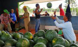 Ramai-ramai Panen Raya 20 Ton Semangka di Kampung Nyerakat
