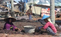 Pabrik Pengolahan Rumput Laut Bakal Dibangun di Tarakan