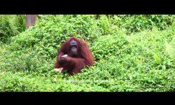 Yayasan BOS dan BKSDA Lepasliarkan Orangutan ke-400