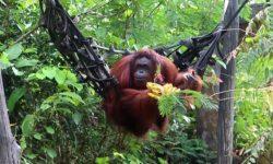 Cegah Covid-19, Pusat Rehabilitasi Orangutan Kena Imbas Penutupan
