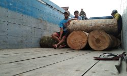 Warga Kukar Tepergok Tebang Sengon di KM 40 Poros Samarinda-Balikpapan