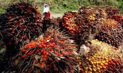 Periode 30 Oktober – 5 November, Harga TBS Kelapa Sawit Riau Rp1.495/Kg