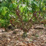 Harga Kakao Turun Dari Ketinggian 1 1/2 Tahun