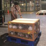 Ekspor Kelinci Hias ke Negara Asia, Eropa dan Amerika Meningkat