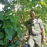 Pohon Kratom Ditemukan Tumbuh Liar di Kabupaten Nunukan