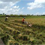 Tak Perlu Pupuk, Produksi Padi di Desa Muhuran Capai 6 Ton per Hektare