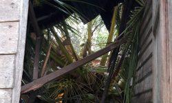 Angin Kencang, Rumah Ansuming Remuk Usai Diterjang Pohon Tumbang