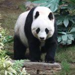 Inovasi: Cina Sewakan Panda ke Negara Lain