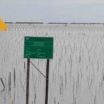 Dishut Kaltara: Tingkat Kehidupan Reboisasi Mangrove Sebatik 82 Persen