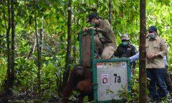 171 Orangutan Dilepasliarkan Dalam 4 Tahun