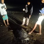 Penyu Hijau Ditemukan Mati di Pantai Lamaru Balikpapan