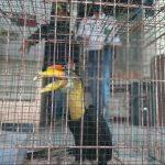 Lima Burung Rangkong dari Kutai Timur Gagal Diperjualbelikan