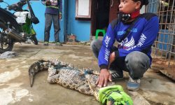 Buaya Muara 2 Meter di Sungai Karang Mumus Ditangkap Warga