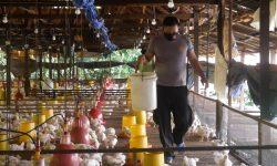 Menengok Brigpol Sem Nelpa di Bontang, Beternak Ayam Buat Jaga Ketahanan Pangan