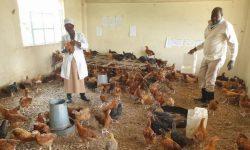 Sekolah Terhenti Akibat COVID-19, Ruang Kelas Diubah Menjadi Peternakan Ayam