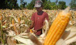 Cerita Pertanian di Muara Wis yang Tidak Terusik Pandemi Covid-19