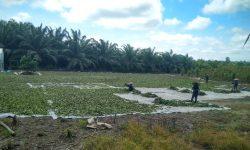 Kratom, Topang Ekonomi Desa Tuana Tuha Kukar Berpenduduk 3.025 Jiwa