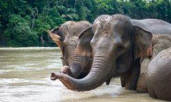 Polisi Bongkar Sindikat Perdagangan Gading Gajah, 3 Orang jadi Tersangka