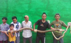 Banjir Bengkuring Surut, Warga Tangkap King Cobra 3,7 Meter