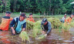 Banjir Sembakung, 335 Hektar Sawah Terancam Gagal Panen