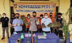 Polres Bungo Temukan Ladang Ganja Disela-sela  Tanaman Kopi