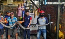 Ular Piton 5 Meter Masuk Plafon Rumah Warga Jalan Diponegoro