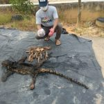 Macan Dahan Tersisa Kulit dan Tulang, Dua Orang Ini Ditangkap KLHK