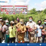 Panen Cabai di Simpang Pasir, Rusmadi: Jaga Lahan Pertanian Tetap Produktif