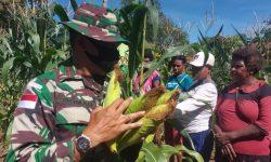 Program Ketahanan Pangan, Satgas Yonif 611/Awl Panen Raya Perdana Bersama Warga Papua