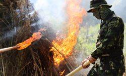 Dimusnahkan, Dua Hektare Lahan Berisi 15 Ton Tanaman Ganja di Aceh Dibakar