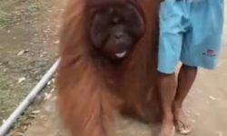 Orangutan Nyasar ke Permukiman Desa di Muara Komam, Begini Kronologinya