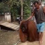 Penjelasan BKSDA Kaltim Soal Orangutan Nyasar di Muara Komam Terlihat Jinak