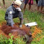 UPDATE : Orangutan yang Nyasar ke Permukiman Desa di Paser Akhirnya Ditemukan