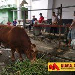 Jokowi Sumbang Sapi Limosin Seberat 1,1 Ton di Masjid Al Mujahiddin Nunukan