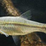 Bidik Peluang Bisnis Ikan Cere, Ikan Rendah Kolesterol