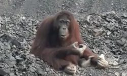 Orangutan Ini Terjebak di Tambang Batubara di Kutai Timur