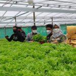Abdul Gushai, Sarjana Keperawatan Aktif sebagai Petani Hidproponik